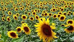 Tohumluk ayçiçeği özel üretim alanı
