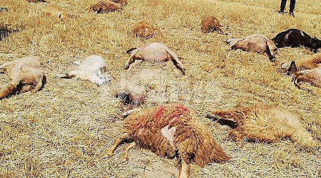 Karaman'da 42 koyunun sır ölümü