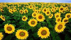 Tohumluk ayçiçeği özel üretim alanları belirlendi