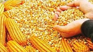 Çiftçilerimize %75 Hibeli Dane Mısır Tohumu Dağıtımı Yapılacak