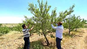 Karaman'da Badem Üreticilerinin Yüzü Gülüyor