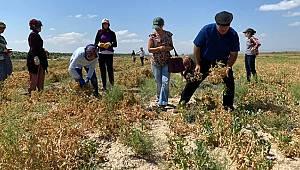 Karaman'da bezelye hasadı yapıldı