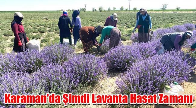 Karaman'da Şimdi Lavanta Hasat Zamanı