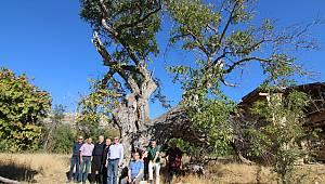 700 yaşındaki ceviz ağacı koruma altına alınıyor