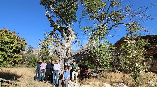 700 yıllık ceviz ağacı tescillenerek koruma altına alındı