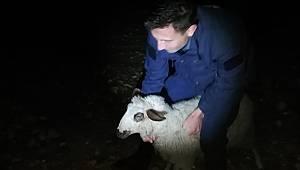 Karaman'da jandarma ekipleri başıboş koyunu sahibine teslim etti