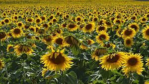 Karaman'da Tohumluk Ayçiçeği Özel Üretim Alanları Belirlendi