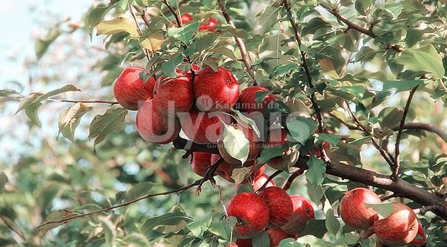 Karaman'da 40 bin ton elma depolarda kaldı