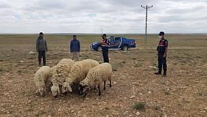 Karaman'da kayıp koyunlar drone ile bulundu