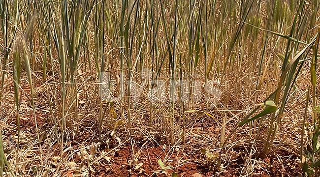 Kuraklık tehdidi Karamanlı çiftçiyi endişelendiriyor