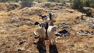 Karaman'da kayıp küçükbaş hayvanları jandarma buldu