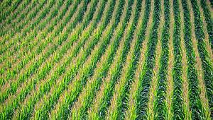 Karaman Ziraat Odasından mısır üreticilerine uyarı
